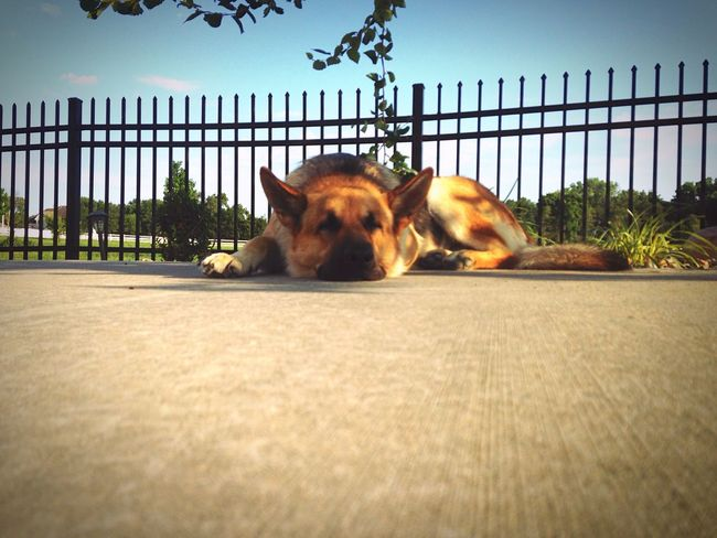 Happy Beauty Dog German Shepherd Outdoors Tired Cute Magestic Sleepy Relaxing Breeze Beautiful Day Ground Concrete Tree Leaves Bestfriend Happiness Calming Pretty Rocks Colorful Ground Level View Pet Cutie