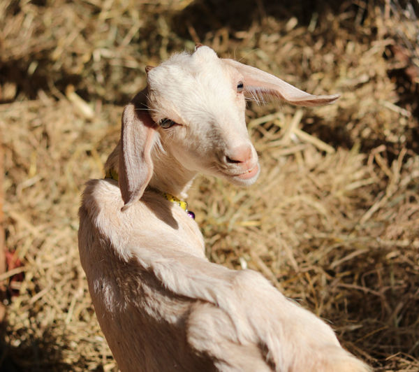 High angle portrait of goat standing on field