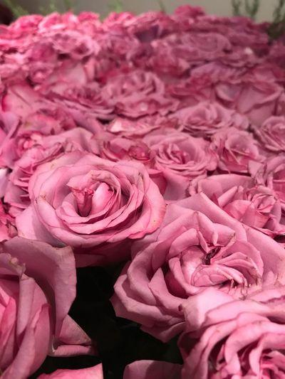 Cama de rosas Flower Pink Color Petal Freshness Close-up Beauty In Nature