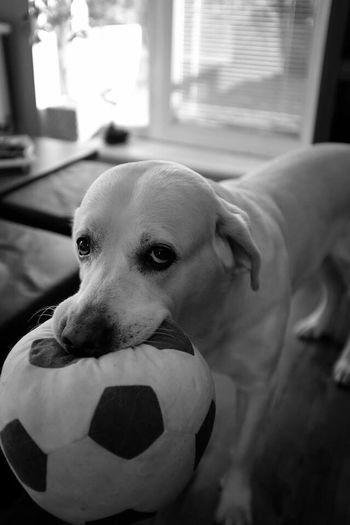Dog Labrador Labrador Retriever White Playing Ball