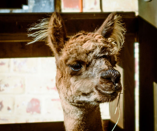 Alpaca Animal Themes Animal Wildlife Animals In The Wild Close-up Day Deer Indoors  Looking At Camera Mammal Nature No People One Animal Portrait
