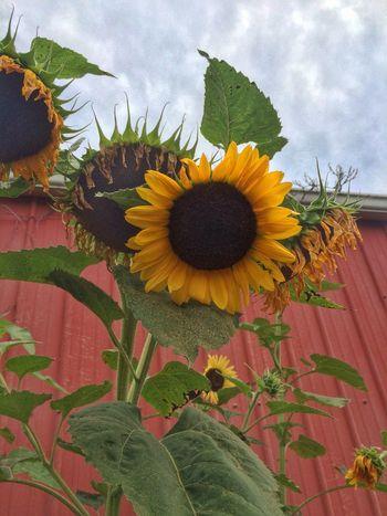 Sunflower Sunflowers Sunflowers🌻 Sunflower🌻 Sunflowers Field Sunflowerpatch Sunflower Field Sunflowerlovers Sunflowermagic Sunflowers ♥