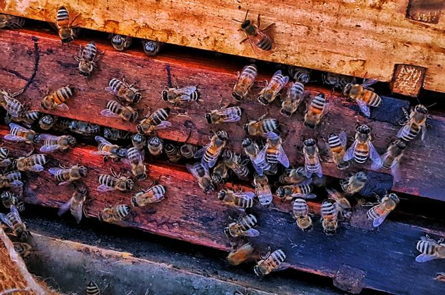 Beauty In Nature Photography Likes Likesforlikes Hony Hony Bee Honey Honey Bee Bees Bee 🐝 Bee Mobilephotography PhonePhotography Honeycomb Note5camera Like4like Nature No People Day Animal Themes KINGDOM Outdoor Photography Growth Outside Photography Close-up