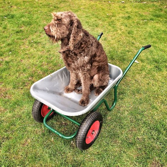 Chocolate brown Labradoodle dog waiting for a ride in a garden wheelbarrow. Grass Pets Dog One Animal Domestic Animals Animal Themes No People Mammal Outdoors Day Funny Labradoodle Labradoodle Brown