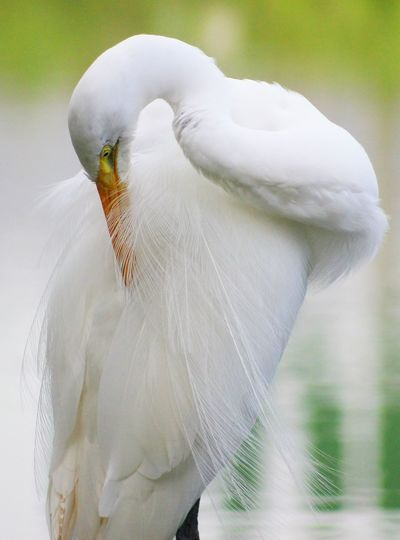 Great egret preening against lake