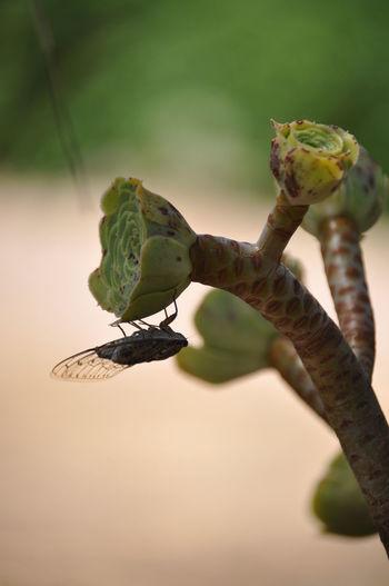 Cicada on plant