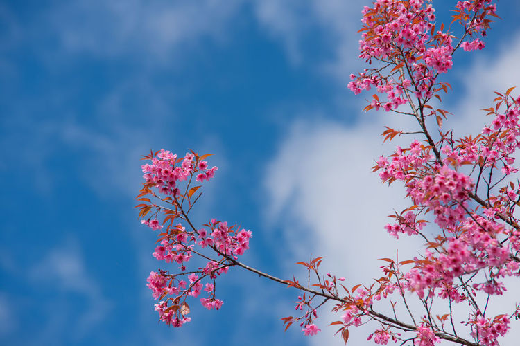 Beautiful sakura or cherry blossom in spring on blue sky , nature background Art Background Beautiful Beauty Bloom Blooming Blossom Blue Blurred Bokeh Botany Branch Bud Butterfly Cherry Closeup Delicate Detail Flora Flower Fresh Garden Gentle Holiday Isolated Japan Japanese  Light Macro March Natural Nature Orchard Oriental Outdoor Petal Pink Plant Sakura Scenery Season  Sky Soft Spring Summer Sunny Sweet Vintage Wide Zen