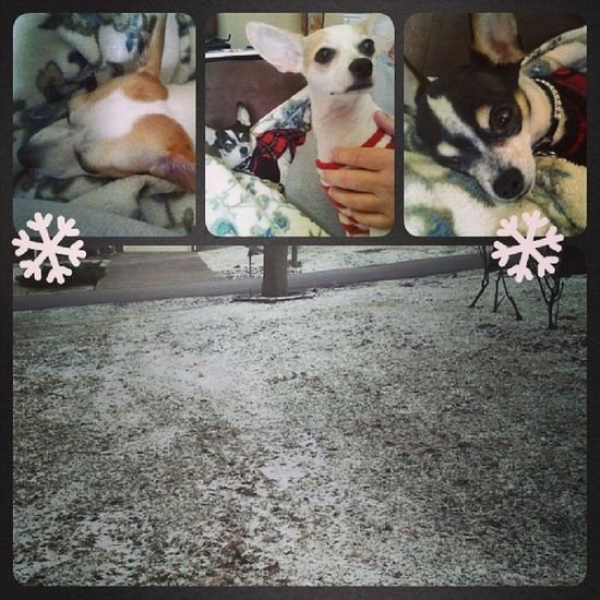 This light dusting of snow has turned the fur-babies into lazy bums! Chihuahua Teacupchihuahua Shebagram Dog dogstagram dogsofinstagram tinydog jackchiagram jackrussell jackchi petstagram dogsofinstagram dogstagram shebabitztagram love snuggles
