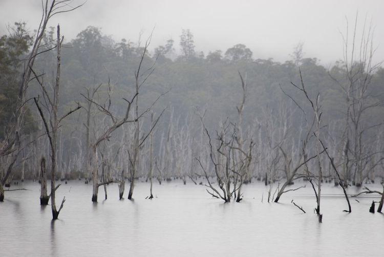 trees killed off by waters rising in lake rowallan hydro dam Australia Branches Dead Drowned Ethereal Flooded HydroElectric Lake Rowallan Landscape Misty Stark Tasmania Trees Unstockunstock Water