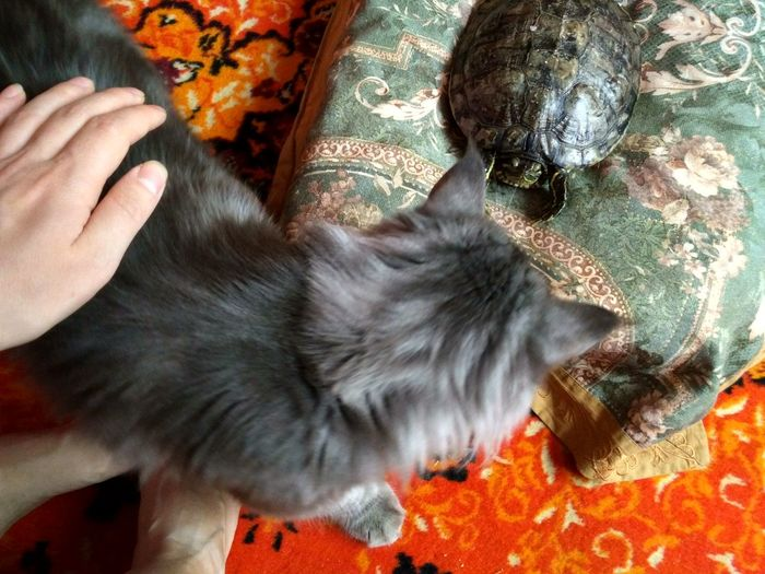 Indoors  Pets Domestic Cat Domestic Animals Home Interior Animal Themes котэ кот и черепаха черепаха