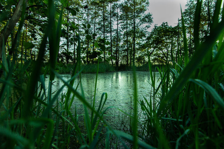 unsettled pond with shrubbery Green Color Pond Seaweed Beauty In Nature Day Forest Grass Growth Lake Landscape Nature Near No People Outdoors Scenics Shrubbery Tranquil Scene Tranquility Tree Unsettled Water