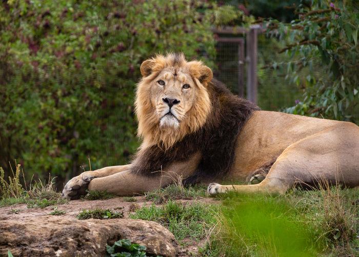 Animal Wildlife Mammal Animal Cat One Animal Carnivora Outdoors Lion Mane