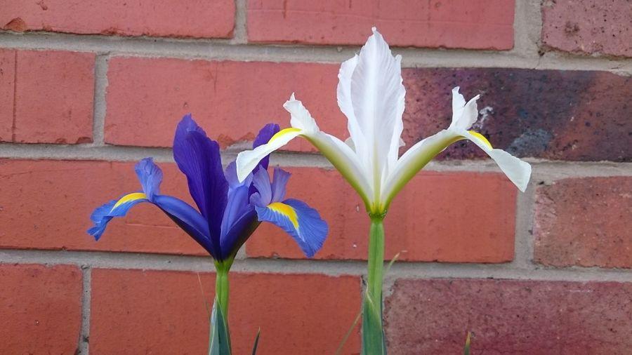 Iris... Multi