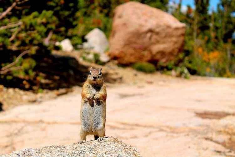 Chipmunk standing on rock