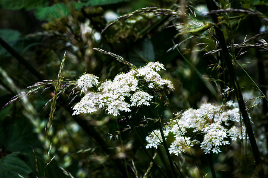 Flower Collection WoodLand Flowers, Nature And Beauty Grasses Nature_collection Nature Beauty In Nature Hedge Row Beauty Close-up Plant Plant Part Flowering Plant