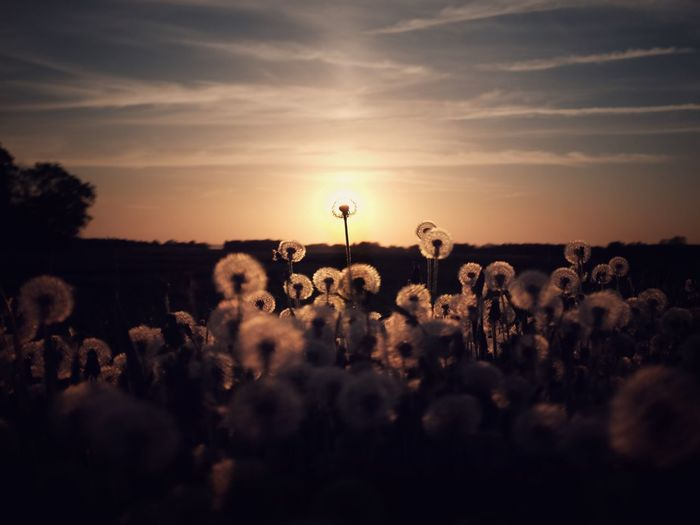 A myriad sinking suns Nature No People Idyllic Sweden Östergötland Tranquil Scene Tranquility EyeEm Best Shots Summer Sky Sunset Cloud - Sky Nature Beauty In Nature Plant Field Land Silhouette