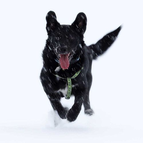 Snow White Background Pets Black Color Domestic Animals Dog Close-up Animal Themes Motion Mammal No People Black Labrador Snow❄⛄ Running Dog Hello World Canada Mountain Tourism Travel Outdoors Snowing ❄ Snow Sports