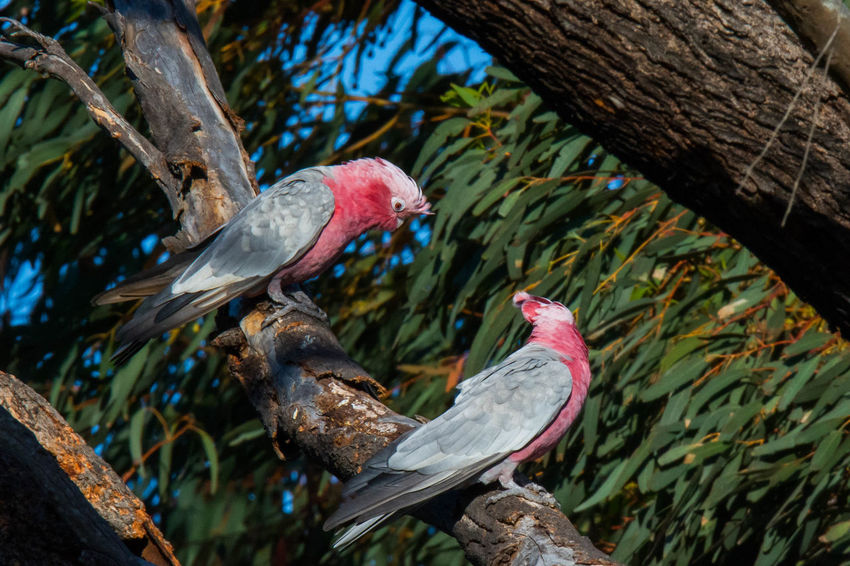 Gazisonit Galah Pink Grey Animal Themes Animal Wildlife Animals In The Wild Beak Bird Branch Close-up Day Hornbill Ibis Nature No People Outdoors Parrot Perching Red Tree Tree Trunk