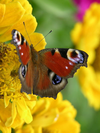 Animal Themes Animal Wildlife Animals In The Wild Beauty In Nature Butterfly - Insect Close-up Day Flower Flower Head Focus On Foreground Fragility Freshness Growth Insect Nature No People One Animal Outdoors Perching Petal Plant Pollination Wildlife Yellow