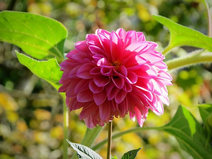 Freshness Flower Fragility Petal Growth Flower Head Pink Color Focus On Foreground Close-up Beauty In Nature Leaf Blossom Stem In Bloom Nature Springtime Dahlia Autumn Plant Single Flower Single Flower Plant Selective Focus