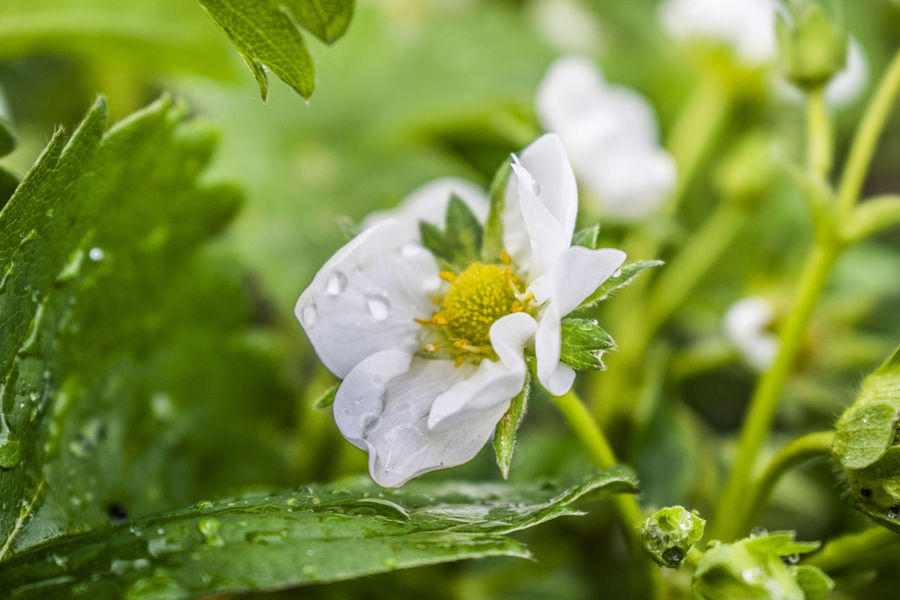 Allotment Beauty In Nature Blooming Close-up Day Dew Flower Flower Head Fragility Fresh Freshness Garden Gardening Green Color Growth Nature New Life No People Outdoors Petal Plant Strawberry Strawberryplant Waterdrop Wet