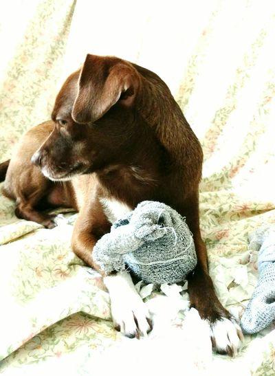 Dog Browndog Dogportrait Mysweety Eyeembest Bestdogpics Petprofile Beautiful Dogsofeyeem Pet Portraits