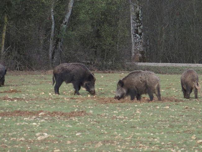 Nature Sologne Wild Boar