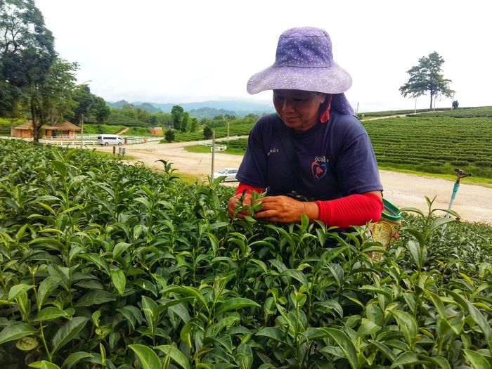 People keep tea leaves People Keep Tea Leaves Tea Tea Garden Worker Agriculture Beauty In Nature Casual Clothing Day Green Color Growth Hat Landscape Lifestyles Nature One Person Outdoors Plant Real People Rural Scene Tea Garden