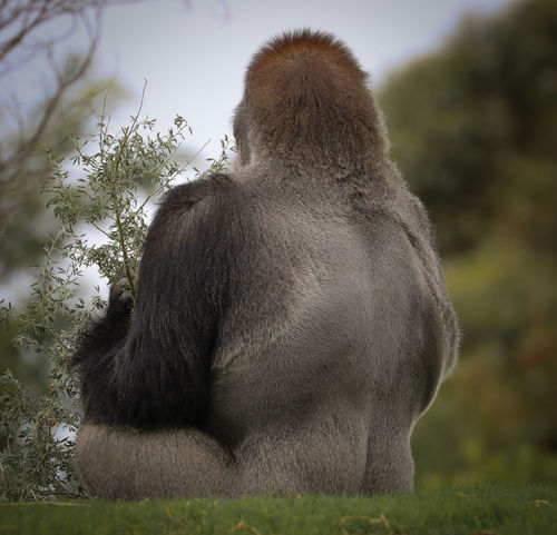 Back Animal Themes Animal Wildlife Close-up Day Focus On Foreground Grass Mammal Monkey Nature No People One Animal Outdoors Silverback Gorilla Sitting Tree Zoo Animals