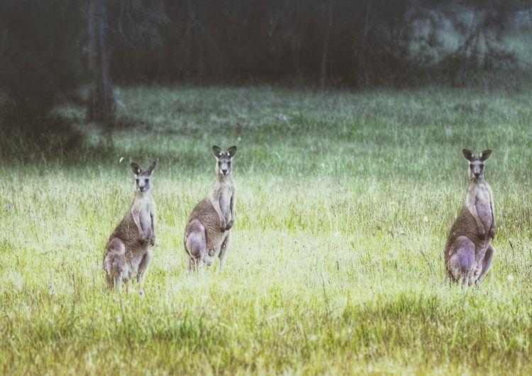 Kangaroos as