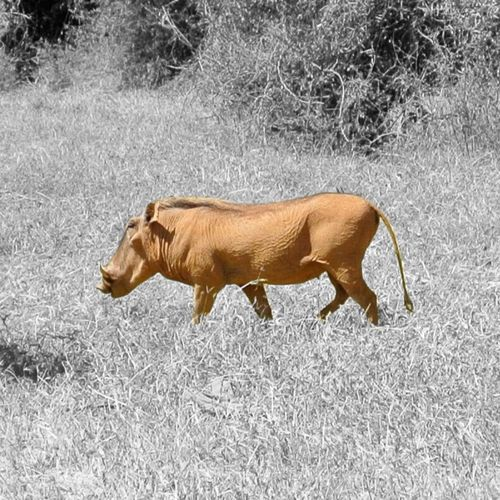 Samburu Kenya Warthog Wildlife EyeEm Nature Lover Animals