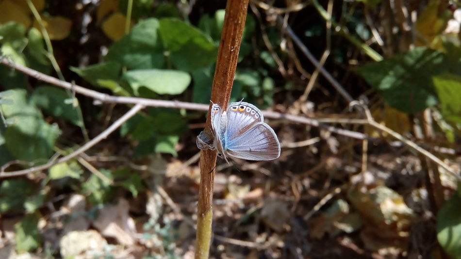 One Animal Insect Animal Themes Nature Plant Focus On Foreground Close-up Outdoors No People Leaf Animals In The Wild Fragility Beauty In Nature Day Butterfly - Insect Butterfly POLYOMMATUS ICARUS Common Blue Butterfly Perching