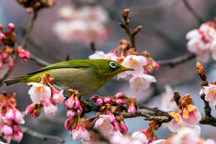 Close-up of hummingbird perching on cherry blossom tree