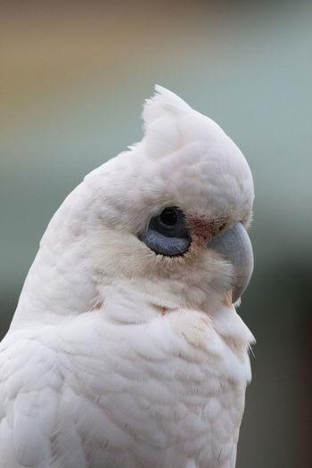 Close-up of little corella