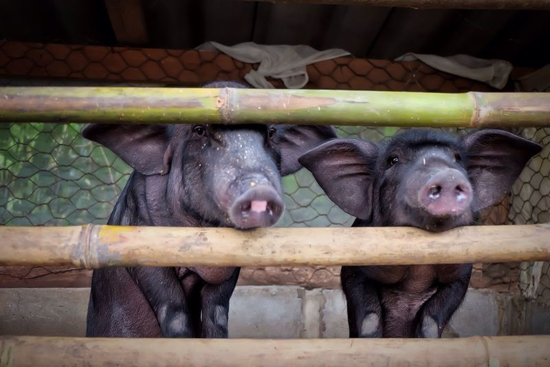Pigs Under Fence