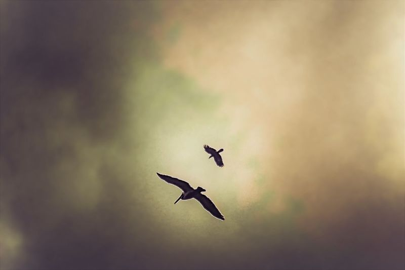 Avian Collection Beauty In Nature Bird Clouds And Birds Clousandsky Dramatic Sky Flying High From Below Pelican Spread Wings Sunset Under Wings 43 Golden Moments Two Is Better Than One