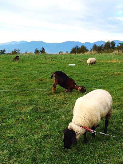 Pasture Japan Nagano Nagato-pasture Animals Sheep Autumn Nature Beautiful