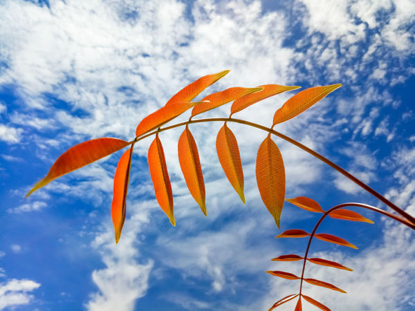 Brown Skinned Beauty Leaves Background White External Beauty In Nature Blue Close-up Cloud - Sky Day Growth Low Angle View Nature No People Orange Color Outdoors Outdoors Photograpghy  Pattern Sky Texture First Eyeem Photo Chum Phae,khonkaen,Thailand
