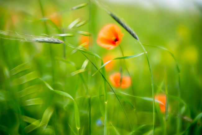 Outer Hebrides Beauty In Nature Blooming Close-up Field Flower Flower Head Flowers Fragility Freshness Green Color Growth Machair Nature No People Outdoors Poppies  Poppy Poppy Flowers Rural Scene Velvet56