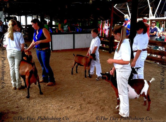 Junior dairy goat showmanship judging.