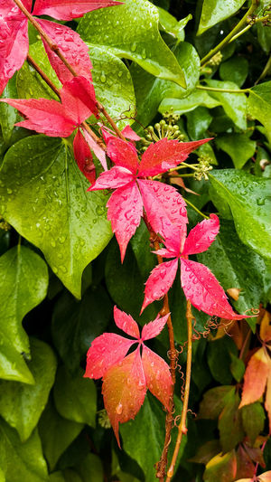 Close-up of wet red leaves on plant