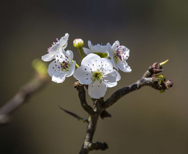 pear flower Apple Tree Beauty In Nature Close-up Day Flower No People Springtime White Color