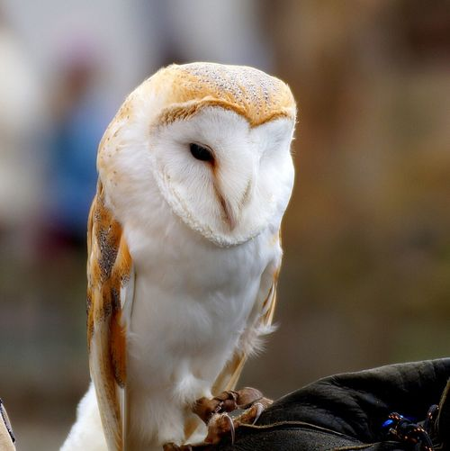 Close-Up Of Barn Owl On Hand