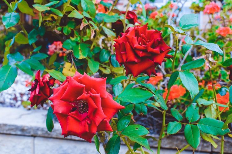 Luscious EyeEm Picoftheday Simplethings Red Simplethings EyeEm Gallery Colours Photography Plant Growth Plant Part Red Leaf Beauty In Nature Freshness Nature Fragility Vulnerability  Close-up Flower Flowering Plant Day Green Color Petal Flower Head Inflorescence No People Focus On Foreground