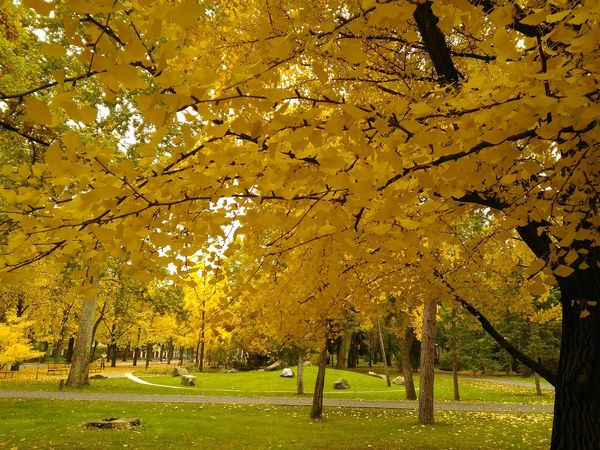 Golden Leaves Golden Autumn Leaves Golden Autumn Beauty In Nature Tranquility No People Nature Autumn Under Tree Asuszenfone2laser AsusPixelMaster Beautiful Nature Debreceni Nagyerdő