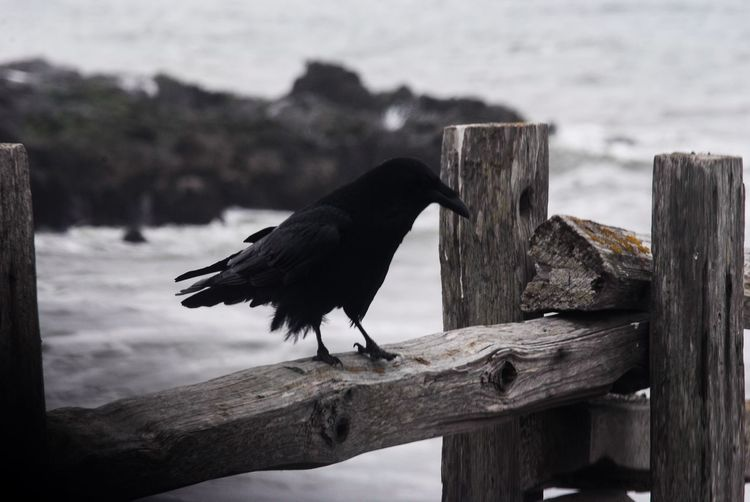 Favorite bird. Wood - Material Animal Animal Themes Vertebrate Bird One Animal Animal Wildlife Animals In The Wild Focus On Foreground No People Nature Raven - Bird Post Side View Crow Wood Outdoors Black Color Day