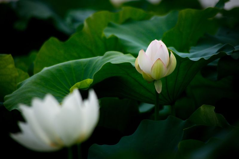 Flower Petal Growth Beauty In Nature Fragility Flower Head Freshness Nature Plant Blooming White Color Leaf Close-up Green Color No People Day Outdoors Lotus Flower Lotus Lotus Leaf Plant Freshness Nature