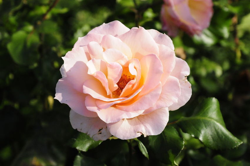 Beauty In Nature Beutiful Day Bloem Blossom Cards Flower Green Color Macro Macro Photography Petal Plant Rose - Flower Roseflower Roses Violet Flowers Whiteflower Yellow Flower