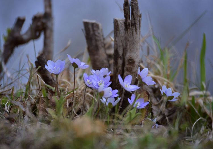 Wild Flowers Forest Bla Blåsippa Hepatica Spring Summertime Plant Flowering Plant Flower Growth Freshness Beauty In Nature Nature Selective Focus Fragility Close-up Vulnerability  Purple Land No People Petal Day Grass Inflorescence Outdoors Springtime Decadence My Best Photo