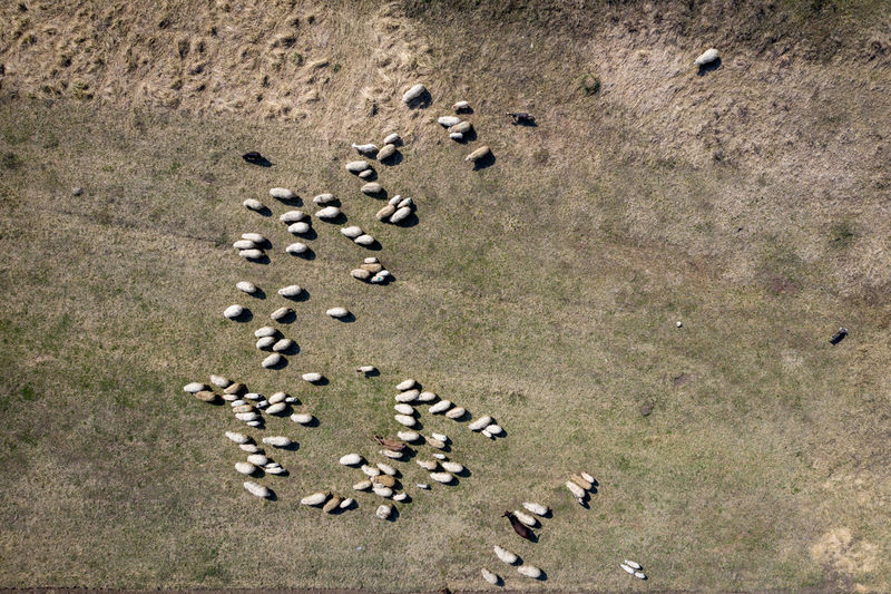 Aerial drone view of herd of sheep grazing in a meadow in the spring Large Group Of Animals Land Animal Animal Themes Group Of Animals Animal Wildlife Animals In The Wild No People Nature Day Herd Herd Animal Herd Of Sheeps Herd Of Sheep Sheep Sheeps Sheep🐑 Sheep Farm Sheepdog Flock Of Sheep Flock Aerial View Aerial Aerial Photography Aerial Shot Aerial Landscape Drone  Dronephotography Drone Photography Droneshot Mammals Grazing Grazing Cattle Grazing Sheep Grazing Animals Transhumance Transylvania Romania Meadow Grass Spring Springtime